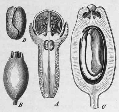 external image Fig-38-Clove-Eugenia-caryophyllata.jpg