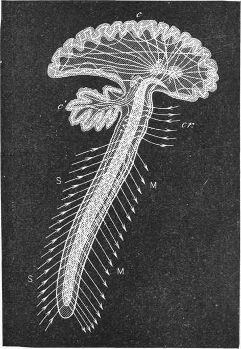 Brain Spinal Cord Diagram The Brain And Spinal Cord