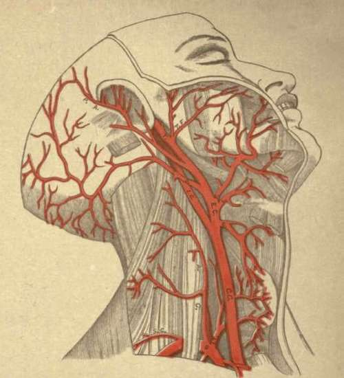 L.C.A. Left Colonary Artery, . ARTERIES OF THE HEAD AND NECK