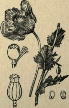 Picturepoppy Flower on Poppy Flower