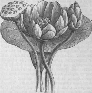 http://chestofbooks.com/reference/American-Cyclopaedia-12/images/Nelumbo-Nelumbium-luteum.jpg