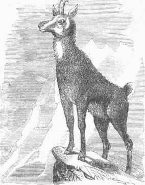 Chamois-Antilope-rupicapra.jpg
