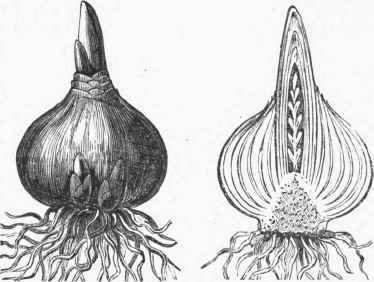 Hyacinth Bulb and Section.