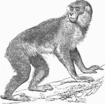Barbary Ape Inuus Sylvanus