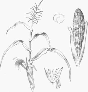 Muzk, Or Indian Corn (Zea Mays)