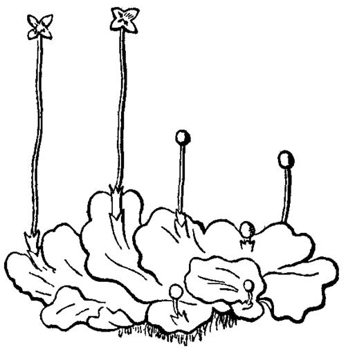 hepaticae  liverworts